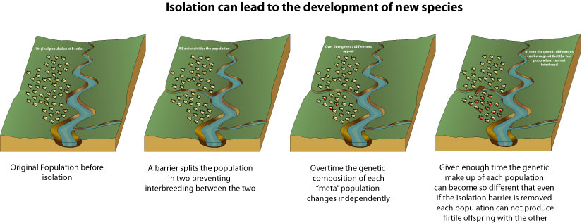 how does geographic isolation lead to speciation